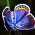 """butterflybuttonblue.jpg"""